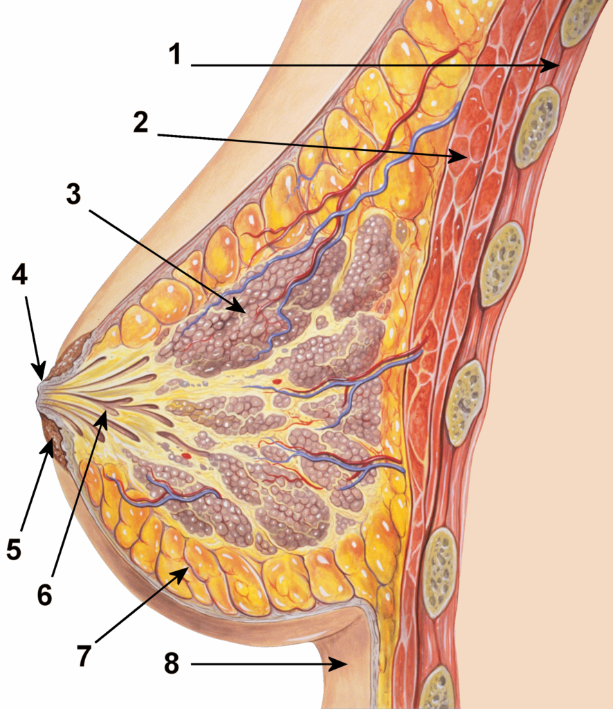 886px-Breast_anatomy_normal_scheme